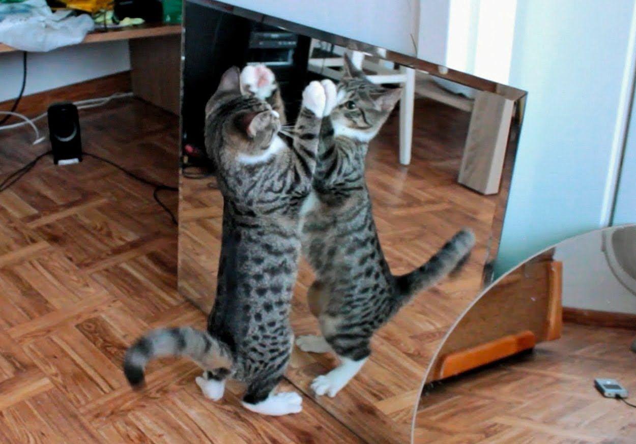 Chats effet miroir for Miroir des chats